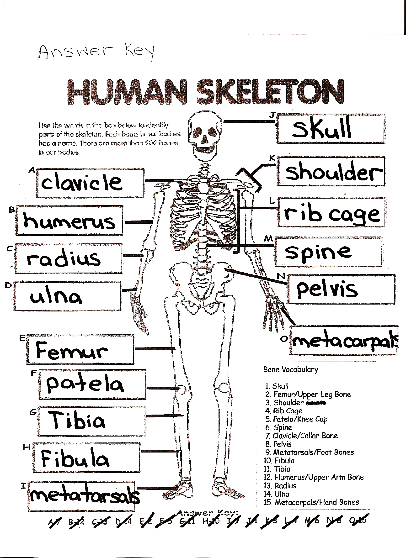 Skeletal System Crossword Puzzle Answers | Healthy Hesongbai - Skeletal System Crossword Puzzle Printables