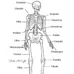 The Skeletal System: Hands On Learning Resources   Human Body   Printable Skeleton Puzzle