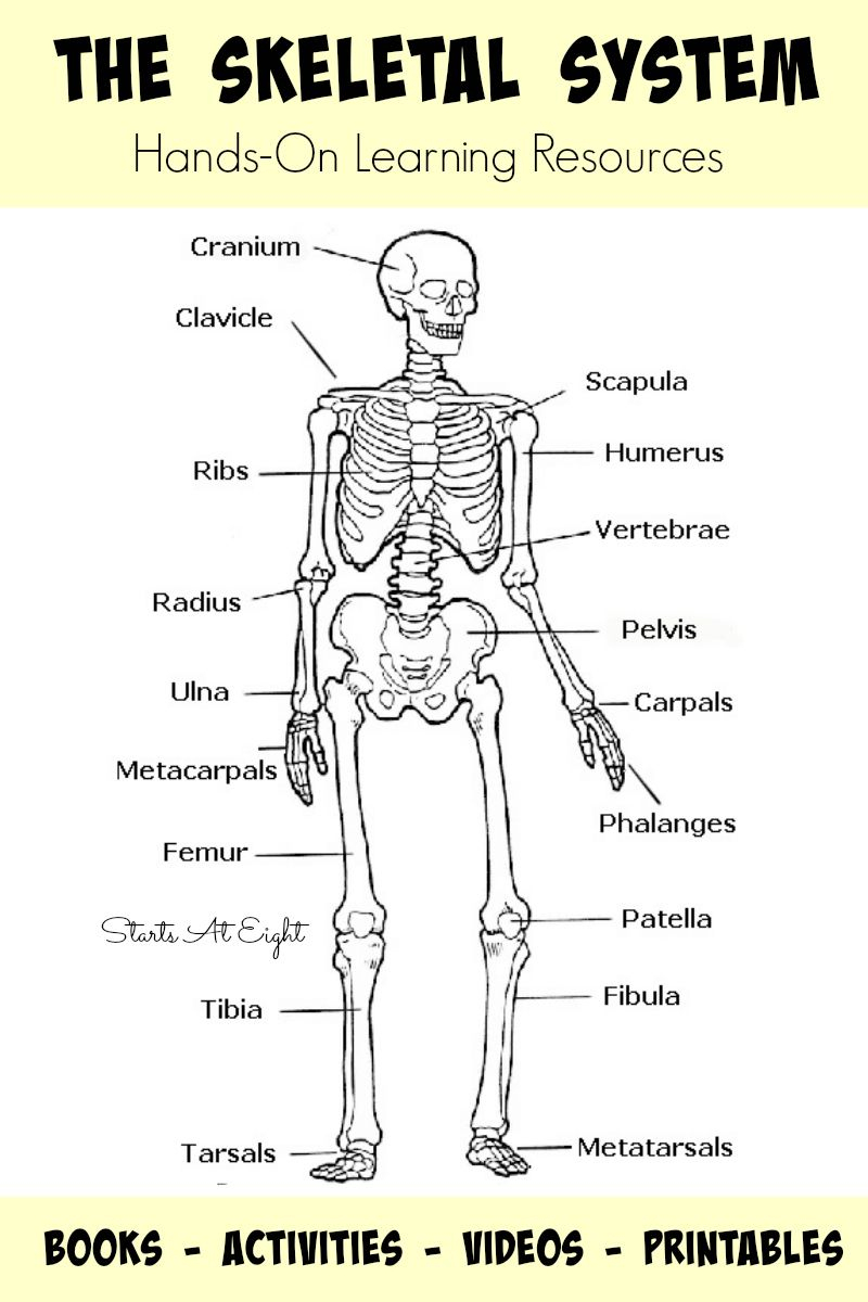 The Skeletal System: Hands-On Learning Resources | Human Body - Printable Skeleton Puzzle
