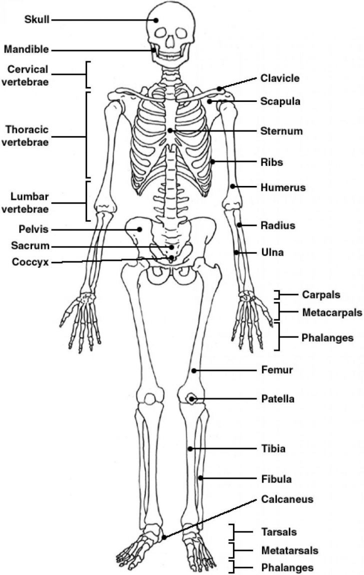 The Skeletal System Worksheet Answers - Siteraven - Printable Skeletal System Crossword Puzzle